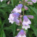 F17 Penstemon (Sissinghurst)