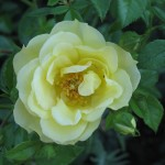 R15 Colorado Rose