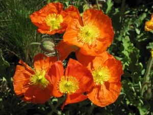 F8 Denver Poppies