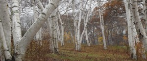 Whispering Birches (New England)