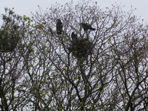 One nest in a Rookery -- now I know where all the noise comes from!
