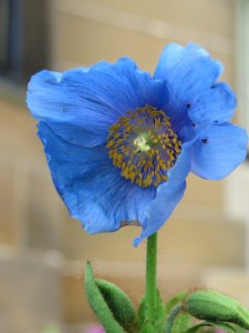 Blue Poppy (Glasgow)