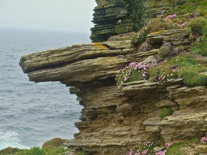 The cliffs at Marwick Head with Orkney Pinks (a flower that only grows in the islands)