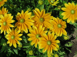 Yellow Rudebekia 2