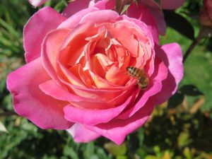 rose-with-bee-mailchimp